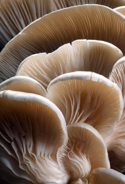 Organic Oyster Mushrooms - From South River Aquaponics in Montrose, CO