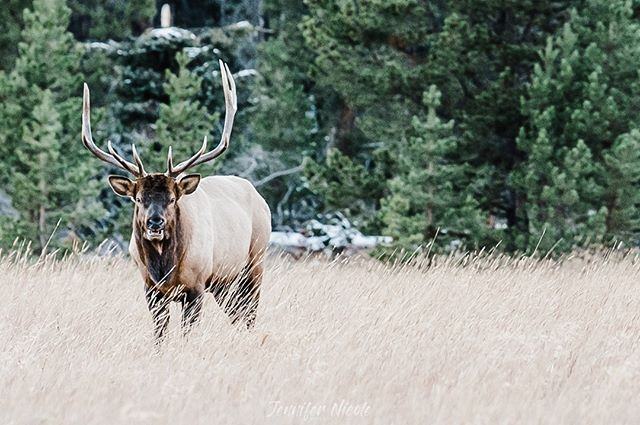 Hangin' out with the old #nikon70200 and a new friend or enemy depending on how you look at it!  #elk #colorado was a perfect place to test out the #z6 thoroughly.  #nikon #nikonz6 #wildlife #elkhunting #elkhunt #wildlifephotography #mastinlabs #mastinpresets
