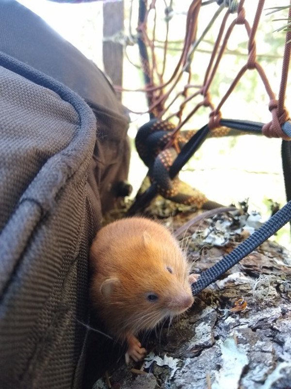 """This little tree vole has been keeping the Tree Sitter, Rook company in the tree they are protecting on Rainbow Ridge. The name """"Twigs"""" has been bestowed upon the brave critter. -"""