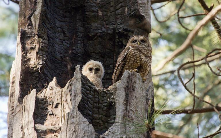 Spotted Owl Nest On Rainbow Ridge -