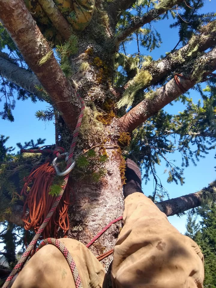 Rook would like help calculating the carbon stored in this tree, which is about 175 ft. tall and 5 ft. wide at the bottom. -