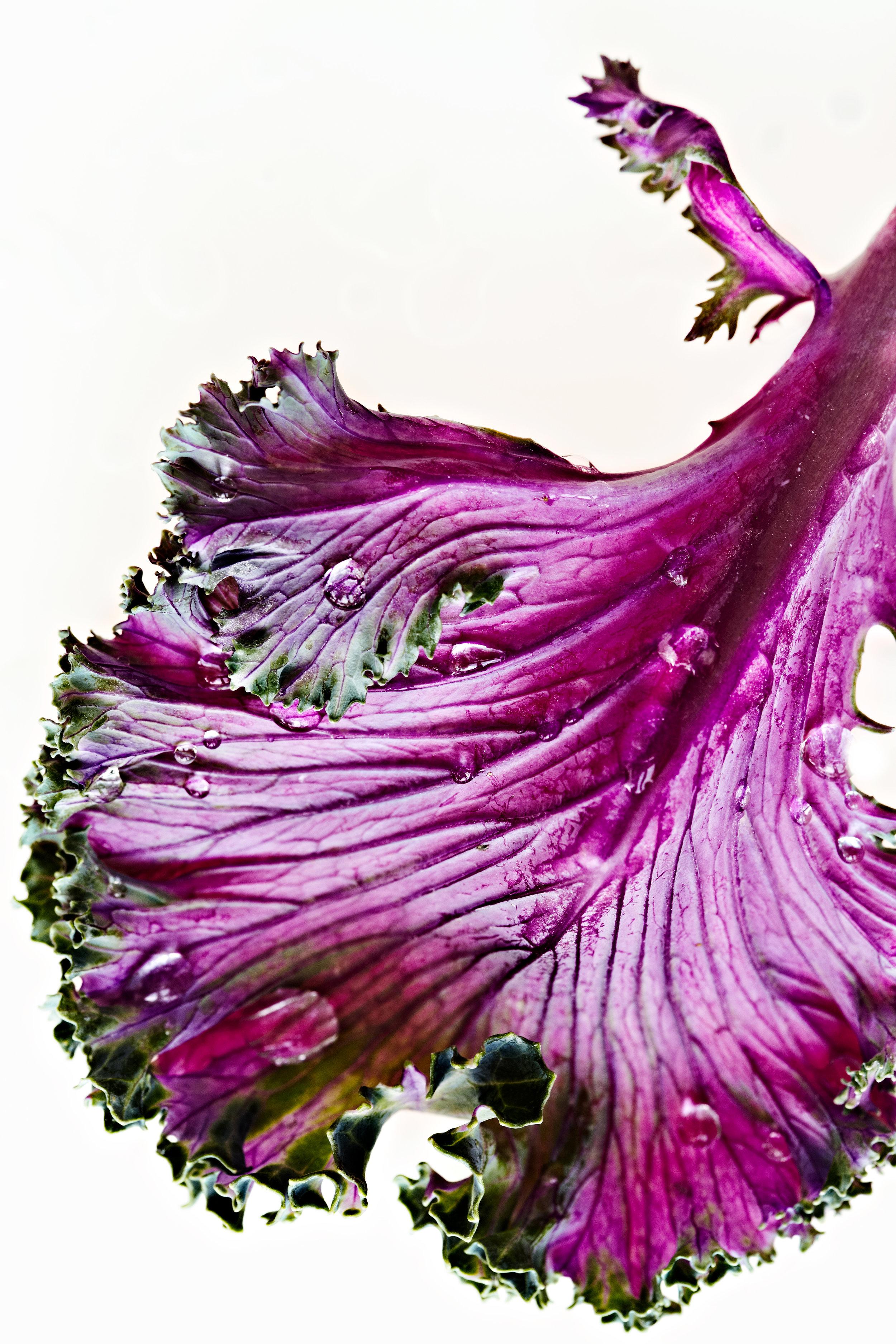 Purple kale on white