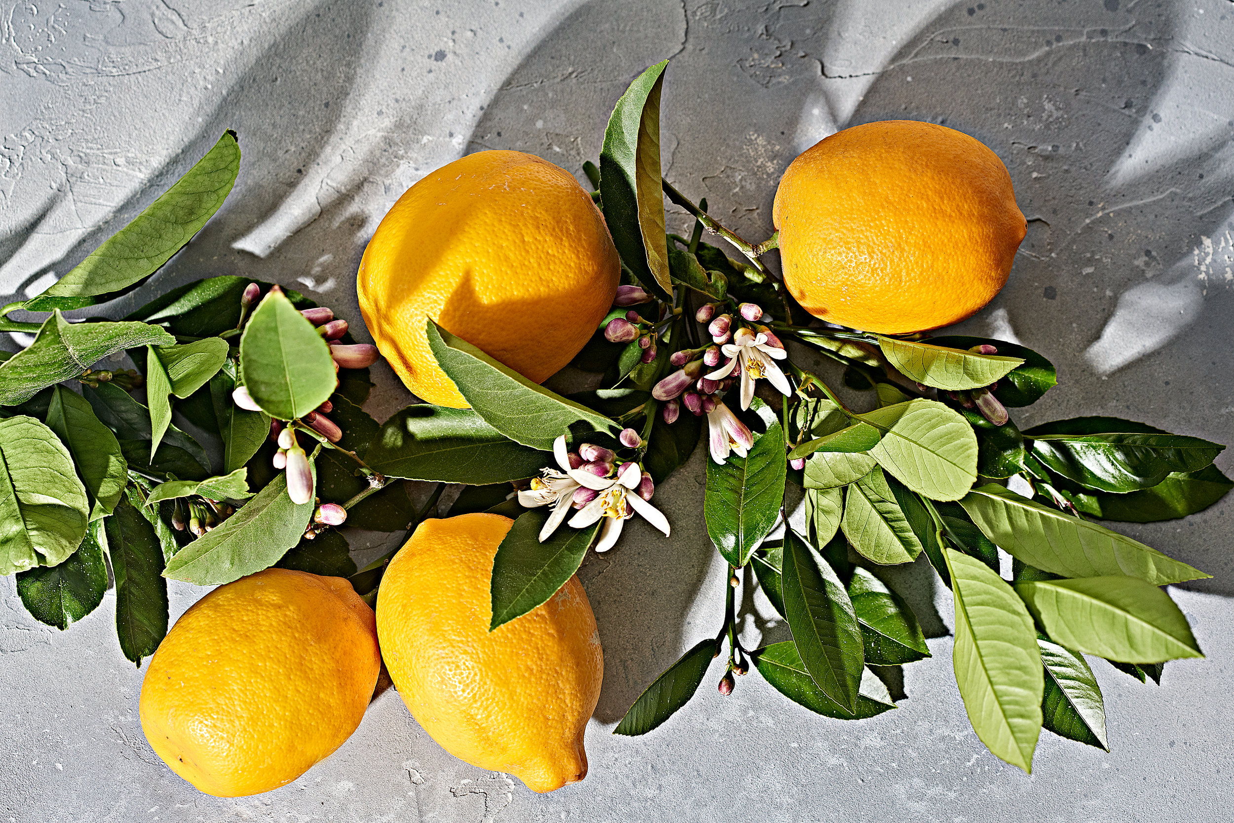 Meyer lemons attached to branch with citrus blossom and leaves