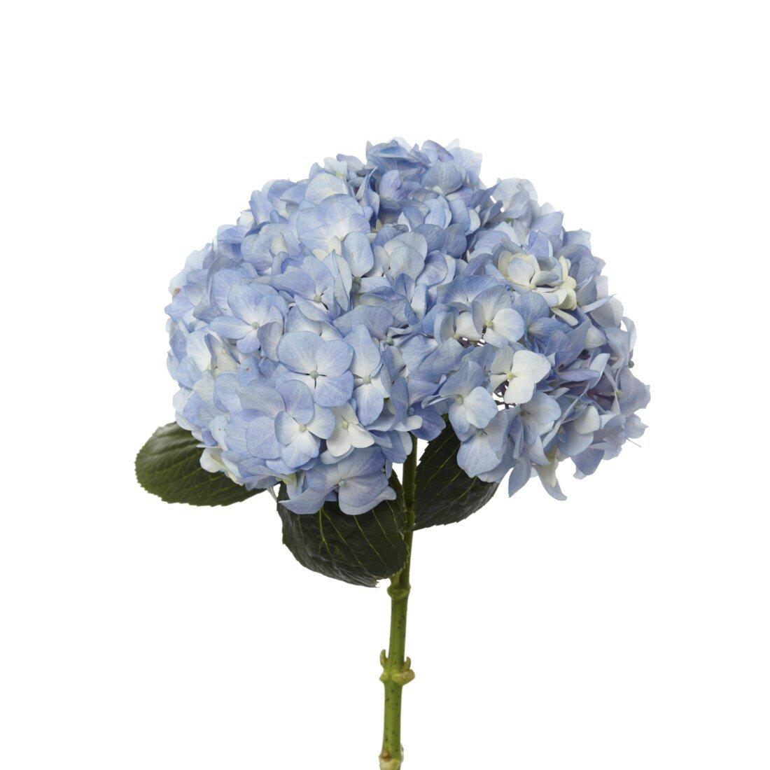 190_Hydrangea_Blue-1.jpg