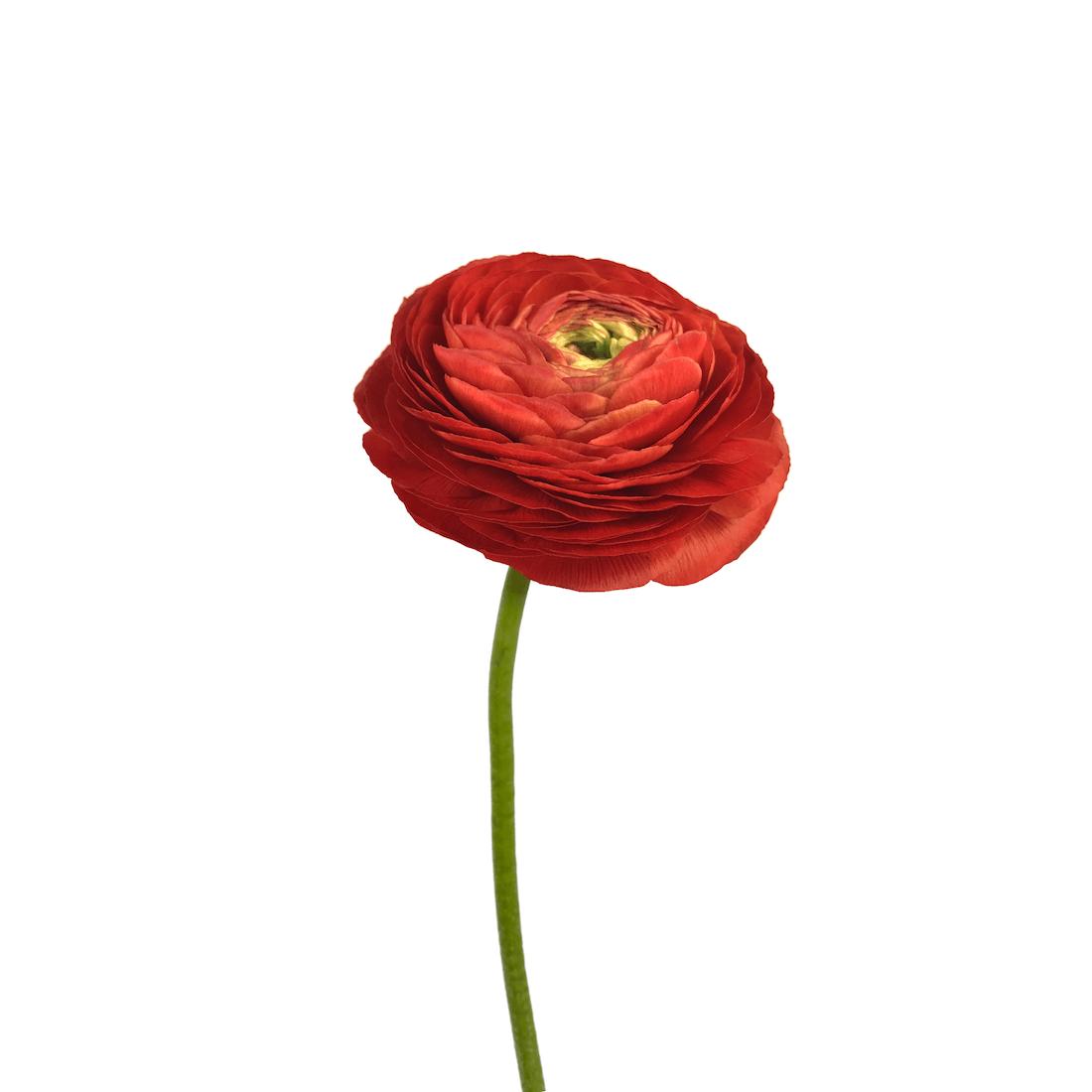 V2.XL_.red_.Ranunculus.WHITE_.png