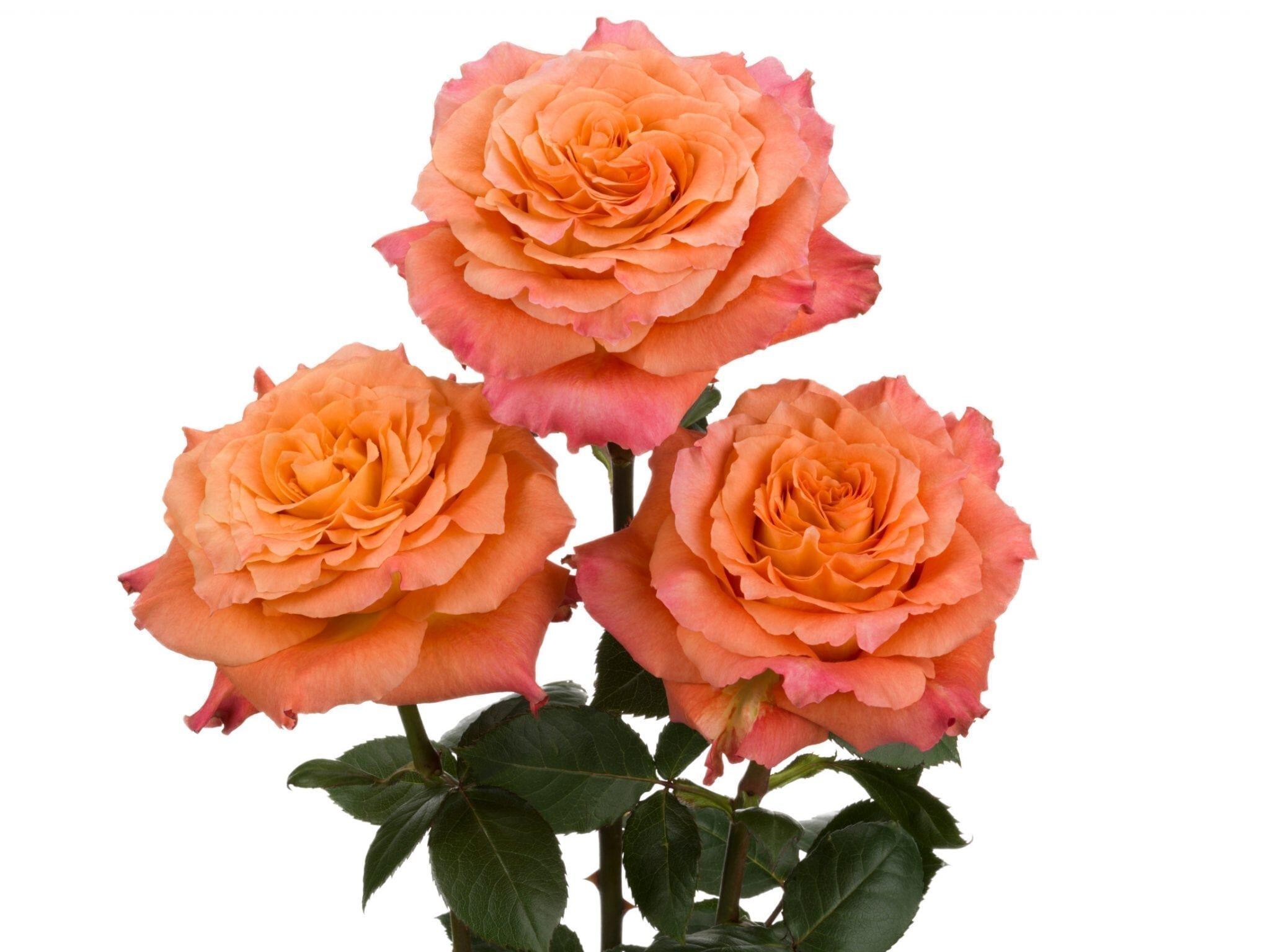 rosaprima roses