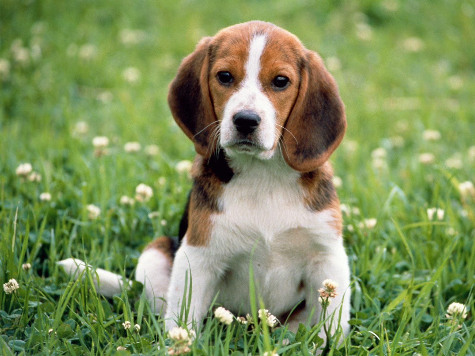 English_Beagle_Puppy.jpg