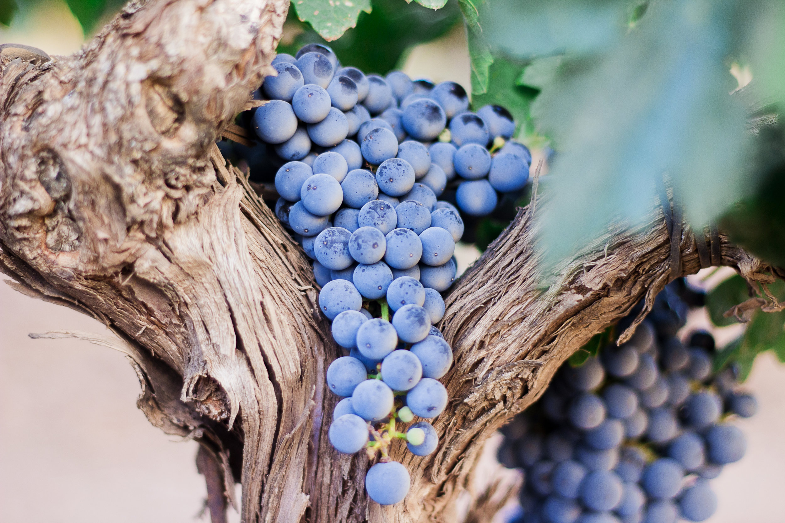 Red grapes on an ancient vine