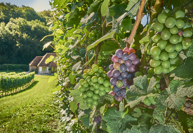 Wiston Estate Vineyard - Pinot Meunier Harvest 2018.jpg
