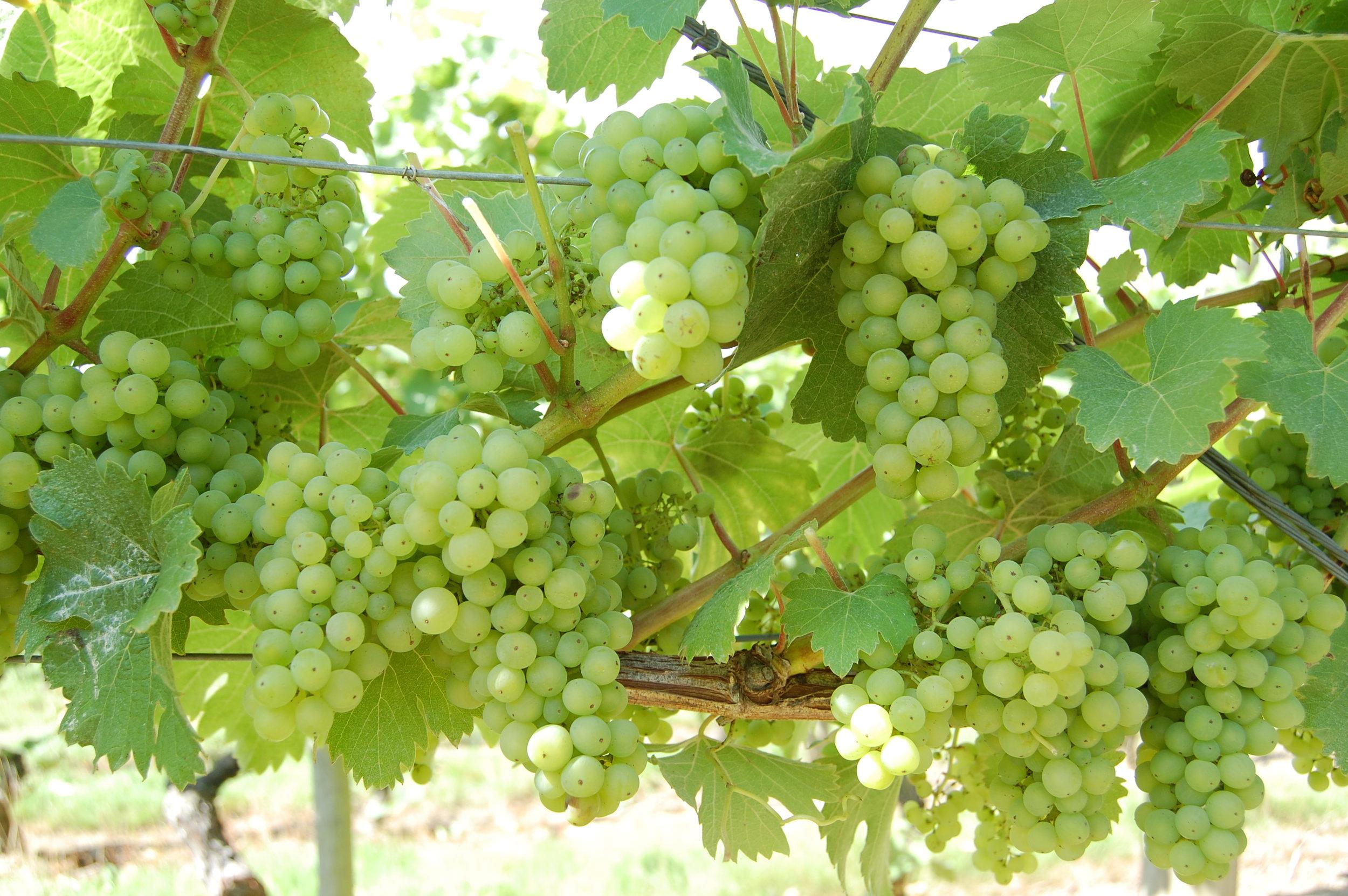 Chapel Down grapes - Harvest 2010