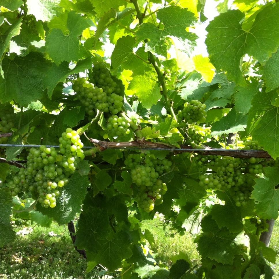 Biddenden Harvest 2011 - Ortega.JPG