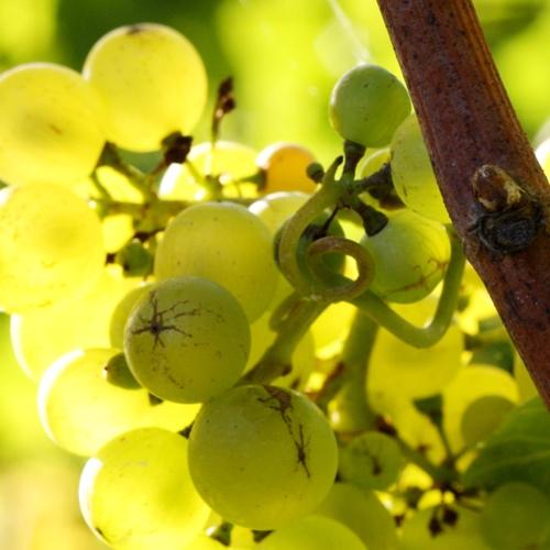 Stopham Estate - Pinot Blanc grapes.jpg