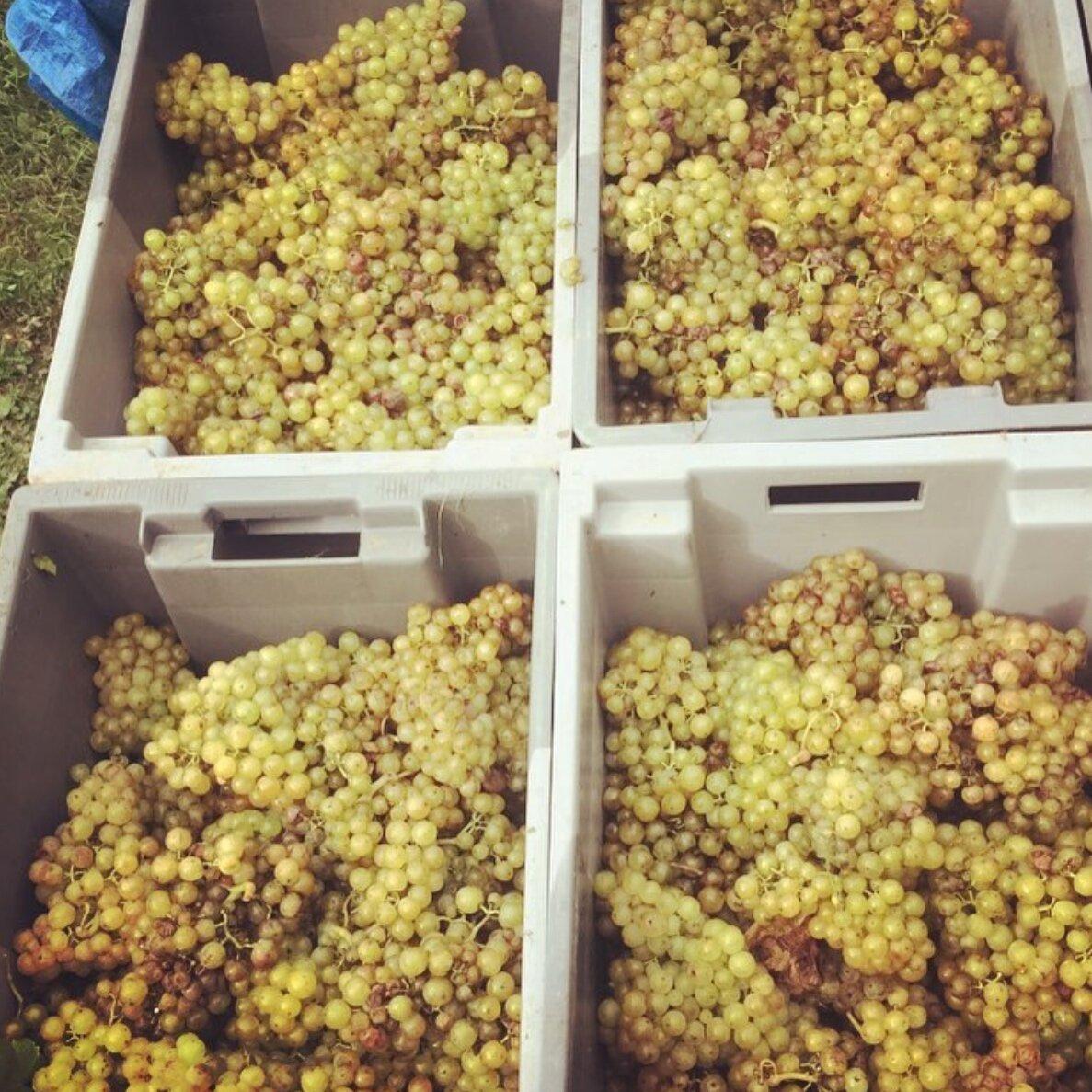 Davenport Vineyards - Huxelrebe 2019.png