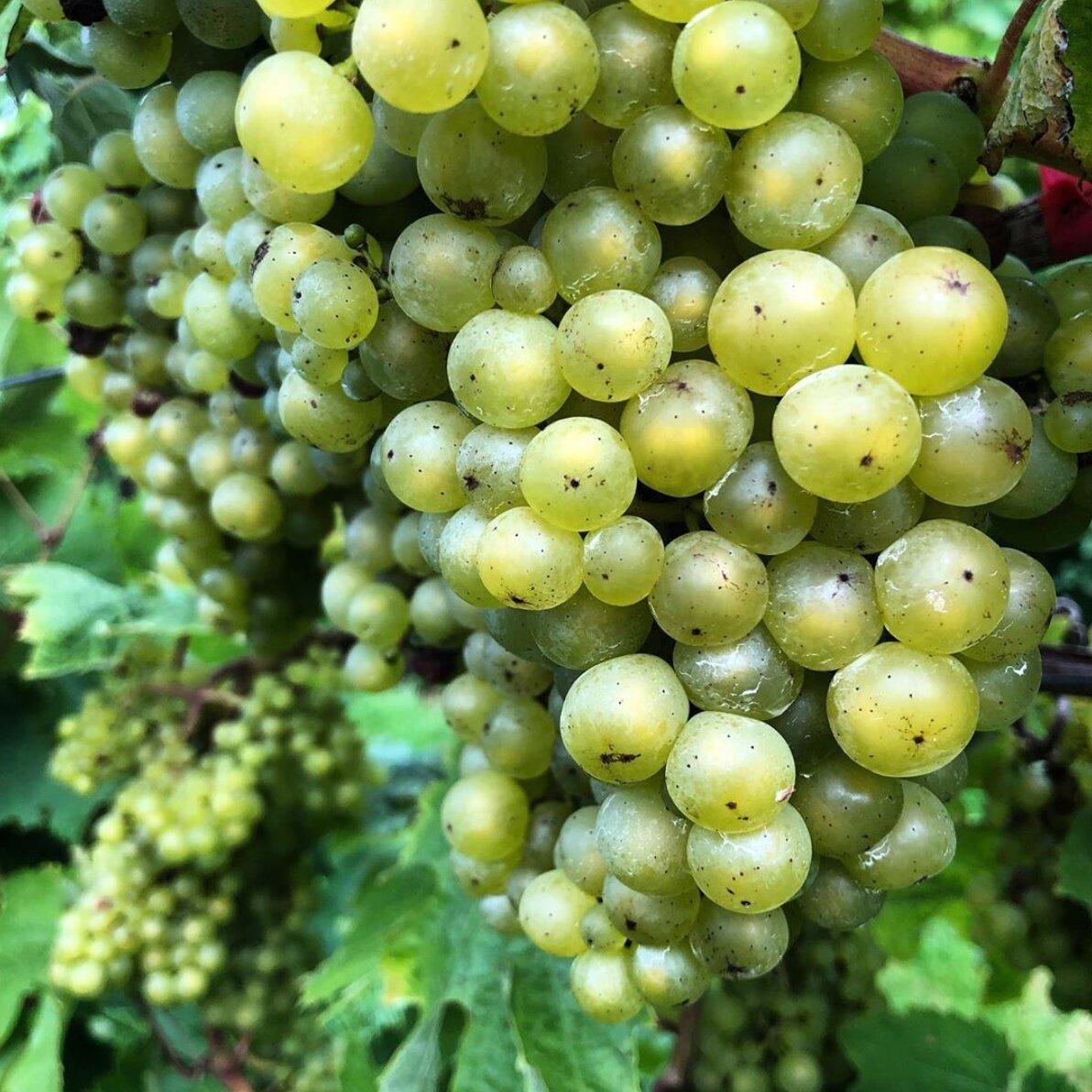 Sharpham+Vineyards+-+Harvest+2019+Madeleine+Angevine+7672.jpg