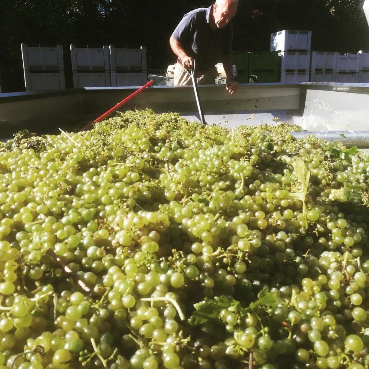 Denbies+-+Reichensteiner%2C+Harvest+2018.jpg