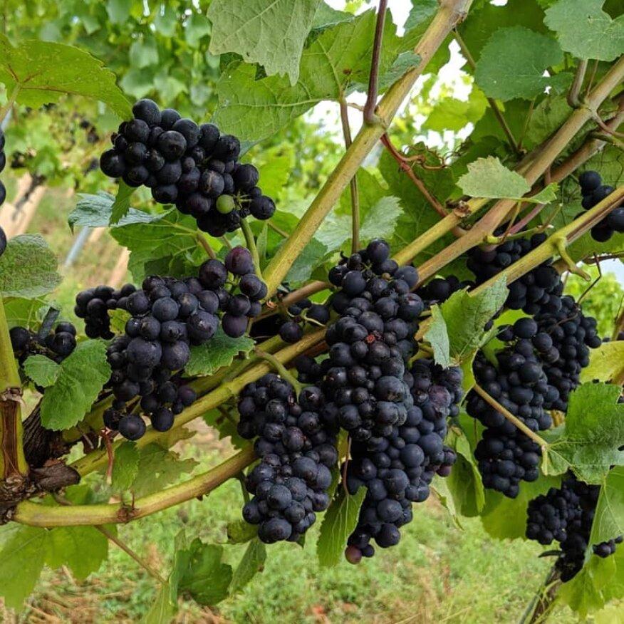 Flint+Vineyard+Pinot+Noir+Pr%C3%A9coce.jpg
