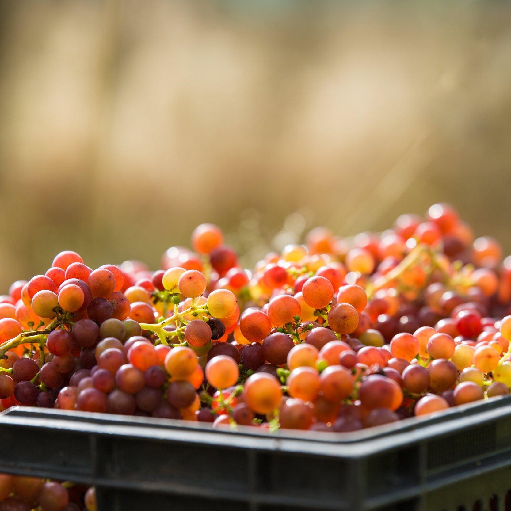 Astley+Vineyard-Harvest-Siegerrebe%2B2018-FS-9938.jpg