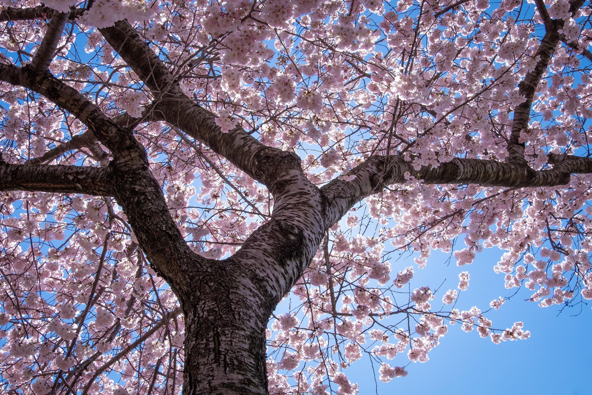 Cherry Blossoms-1.jpg
