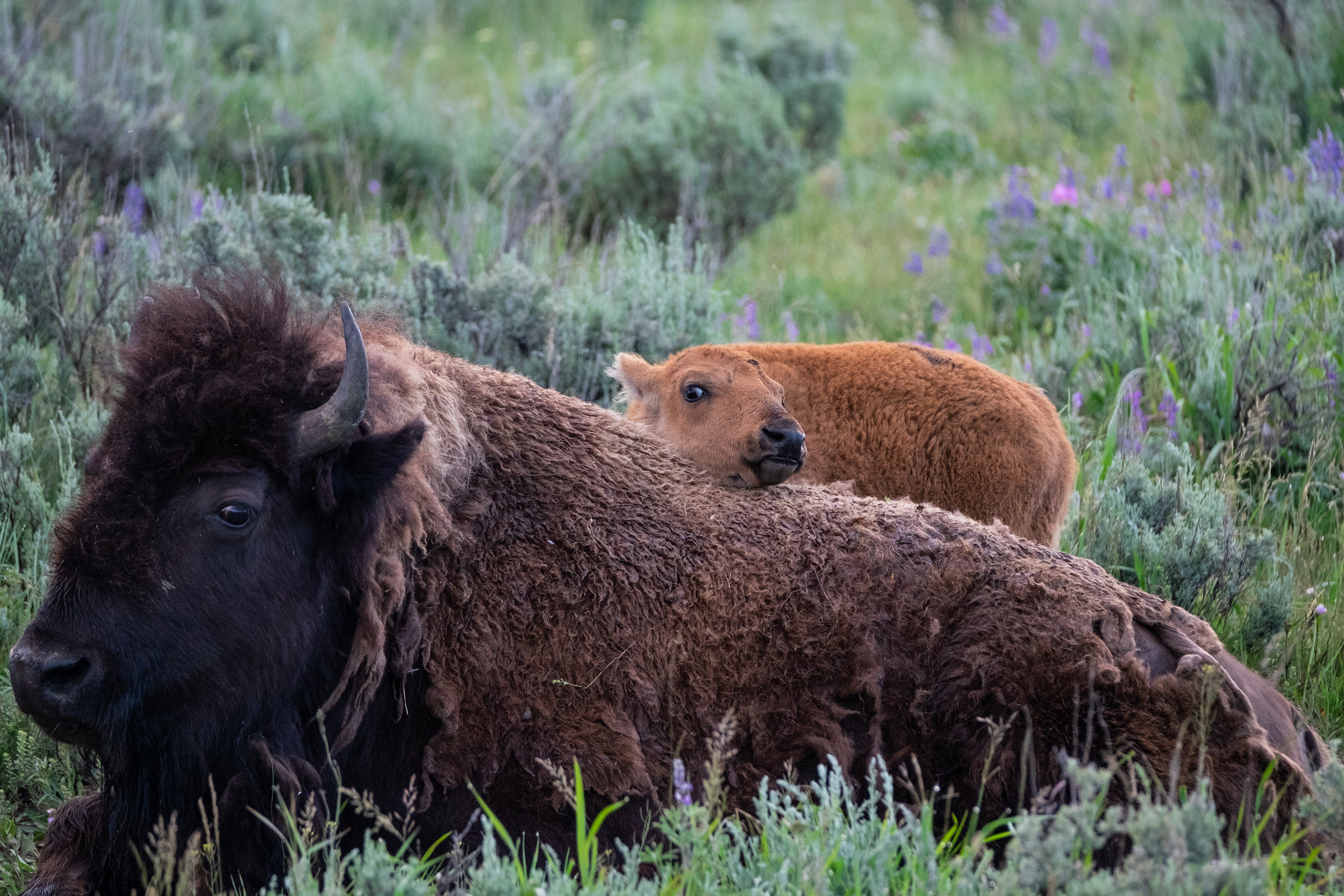 Iconic Yellowstone-2.jpg