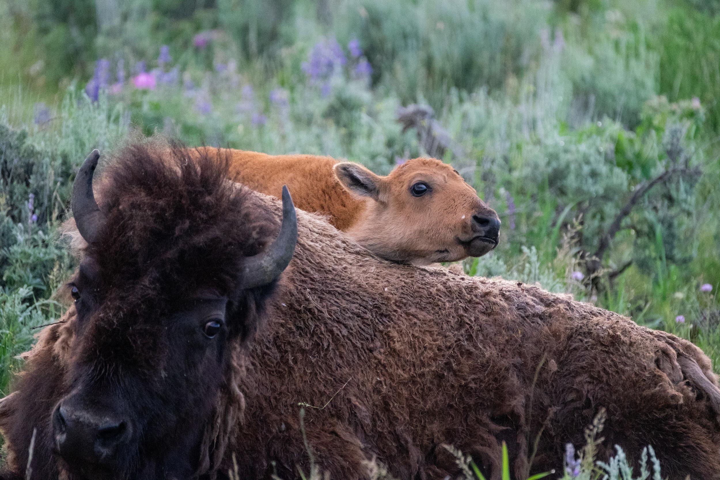 Iconic Yellowstone-1.jpg