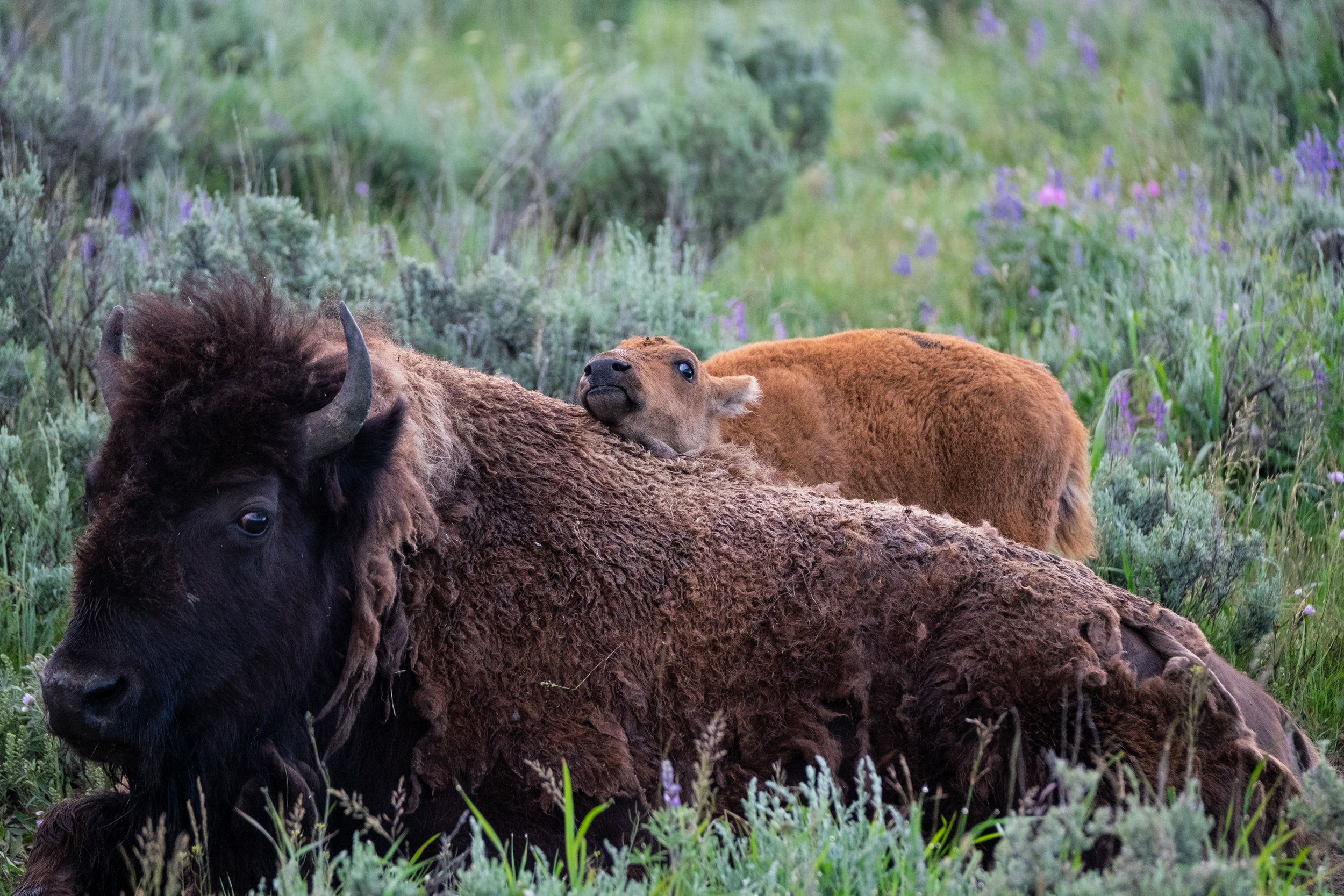 Iconic Yellowstone-3.jpg
