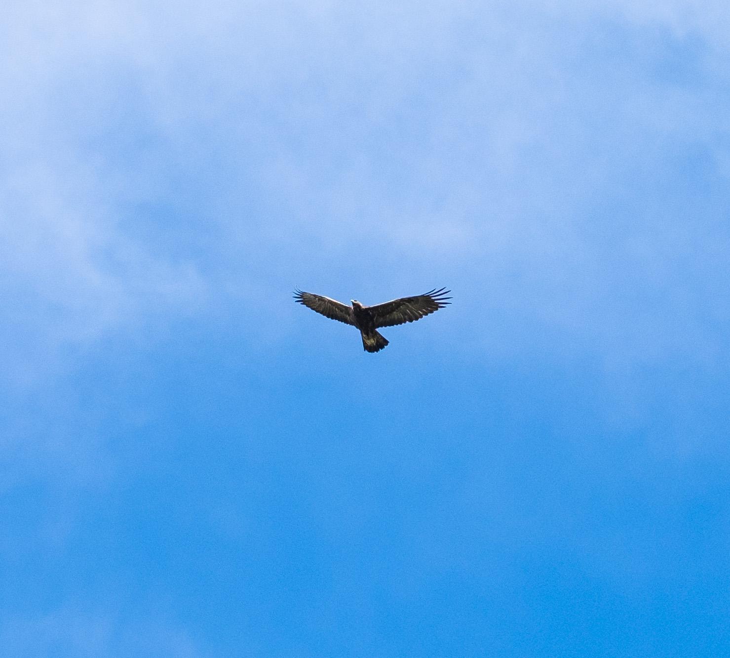 GoldenEagleSurprise-2.jpg