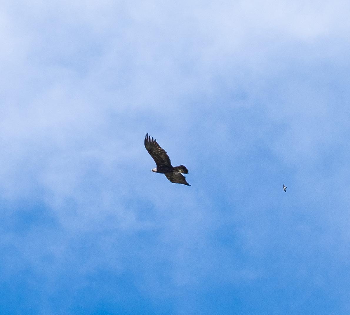 GoldenEagleSurprise-3.jpg