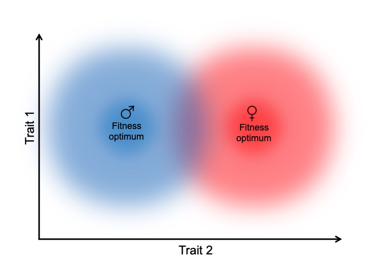 Overview - The maintenance of genetic variance in fitness and the maintenance of sexual reproduction represent two mainstay evolutionary challenges that may, to some extent, have the same solution: sex-specific selection. Sex-specific selection inevitably leads to sexually antagonistic (SA) selection, which can maintain balanced polymorphisms for fitness (where alternative alleles pose opposite fitness effects in the two sexes). Alternatively, if/when the same alleles are favored in both sexes (i.e. sexually concordant (SC) selection) then sex-specific selection can account for the cost of sexual reproduction by enabling more efficient purifying selection via males at a negligible cost to population growth. At face value, these two processes seem at odds, but they likely act on largely independent sources of genetic variance, and therefore different loci in the genome. In order to fully understand how and why genetic variance and sexual reproduction are maintained so ubiquitously we need to study the mechanisms that enable the above processes to ensue. Current research foci are highlighted below. I study these and other questions using a broad range of techniques, including quantitative/statistical genetics, experimental evolution, genomics, transcriptomics, molecular genetics, and mathematical modeling.