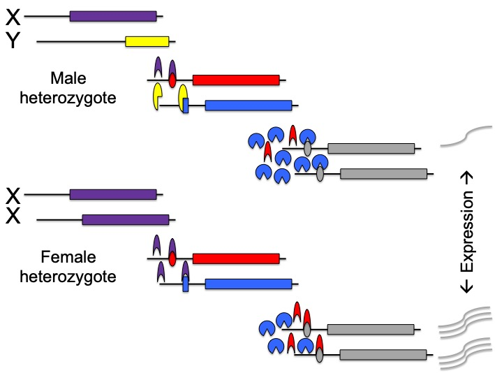 Gene regulation - Sex differences in (allele-specific) gene expression brought on by certain combinations of sex-specific trans-acting proteins, their concentrations, and/or cis-acting SNPs in their regulatory regions may be a common means by which SSDR is achieved. Currently, I am building a biophysical model of the gene regulatory machinery that could mediate/enable SSDR. The hope is that this will guide genomic and transcriptomic studies of SA genetic variation by showing which biologically explicit mechanisms are capable of mediating SSDRs, and therefore which genomic and transcriptomic patterns represent the signature of balanced SA polymorphisms. Such a bottom-up approach to detecting SA polymorphisms in the genome is an exciting new alternative to the current GWAS, gene expression, and genome-scan approaches because it side-steps one of the phenomena that obfuscates detection by those methods (i.e. dominance effects) whilst utilizing those dominance effects as the signature of interest. I have several ongoing projects that together represent a highly multidisciplinary effort to found and refine this bottom-up approach - blending quantitative genetics, genomics, transcriptomics, theory, molecular genetics, and genome editing.