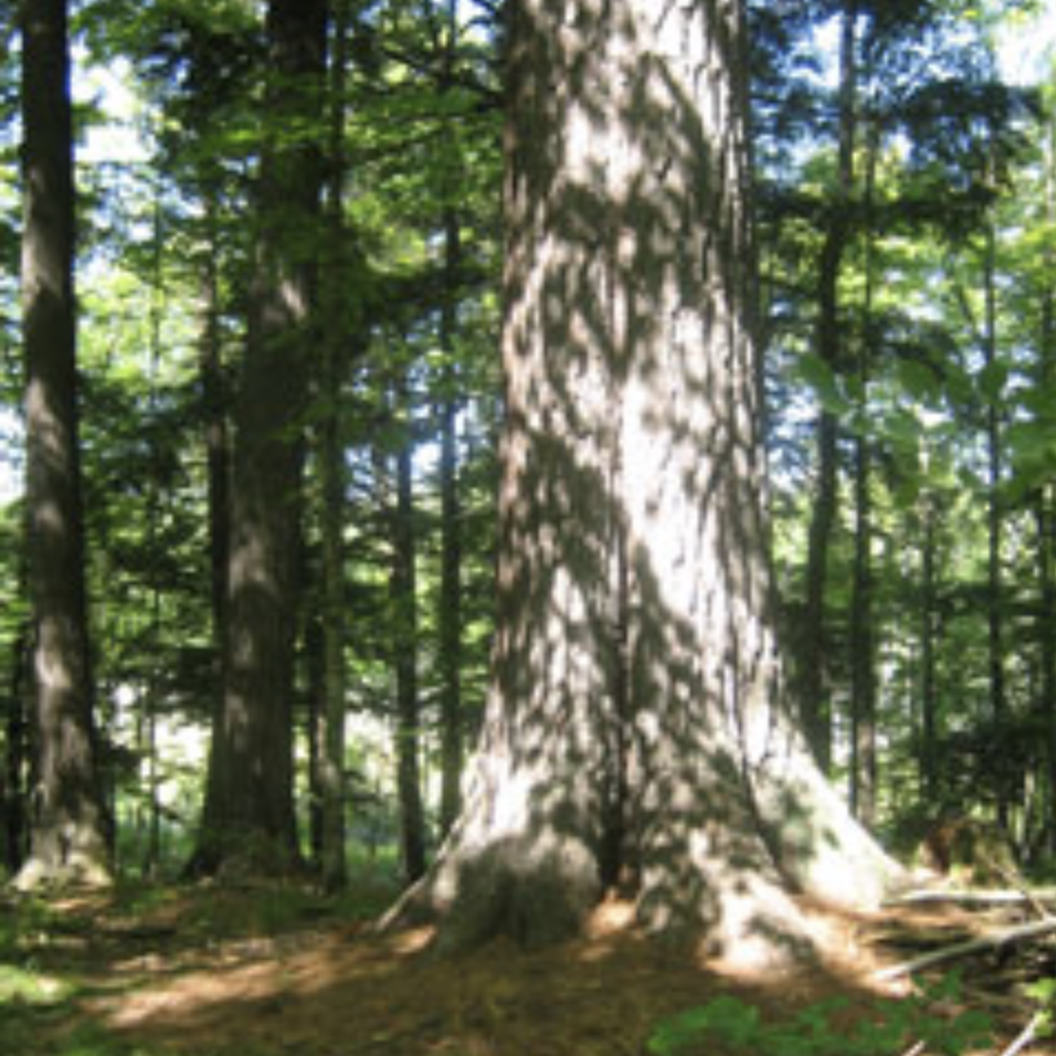 Old Growth Forest.png