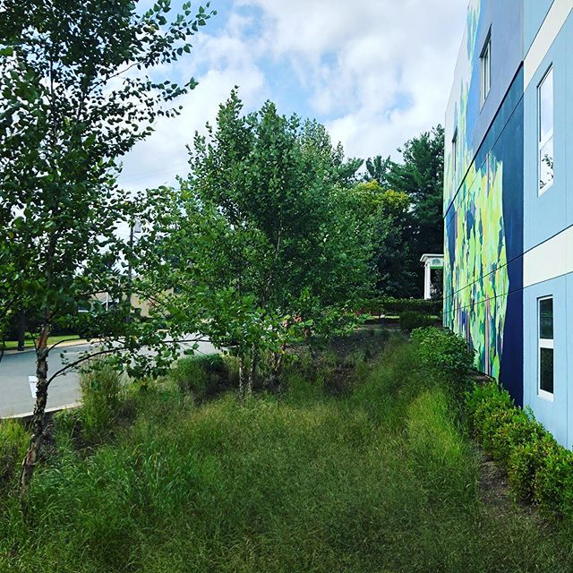 Rain gardens, like this one we spotted on Little High Street, work to retain and filter water back into the soil using native trees and bushes. We're designing a large, central rain garden and several smaller ones throughout the site. Nice job, Charlottesville Day School!