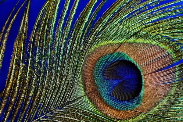 180425 Peacock feather.jpg