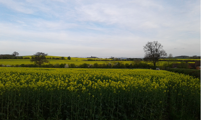 Rapeseed-field.png
