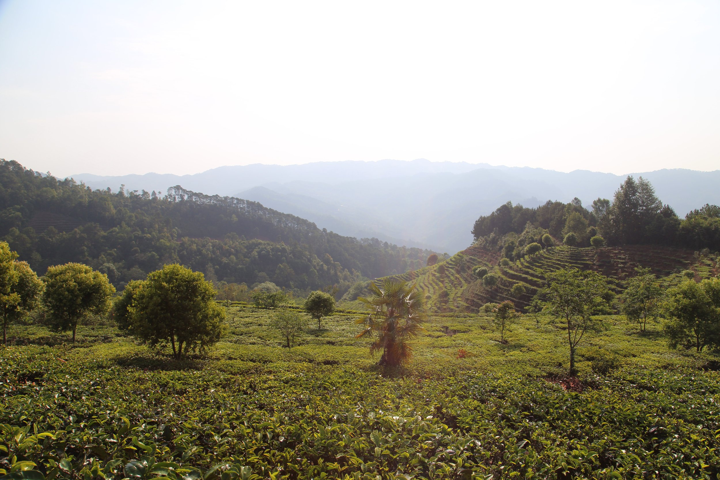 Our tea gardens follow a strict harvesting calendar. - Tea is an evergreen plant-i.e., it stays green all year-long. But the most sought after tea harvest is the first spring harvest. Harvesting spring tea buds is time-sensitive and requires specific skills.