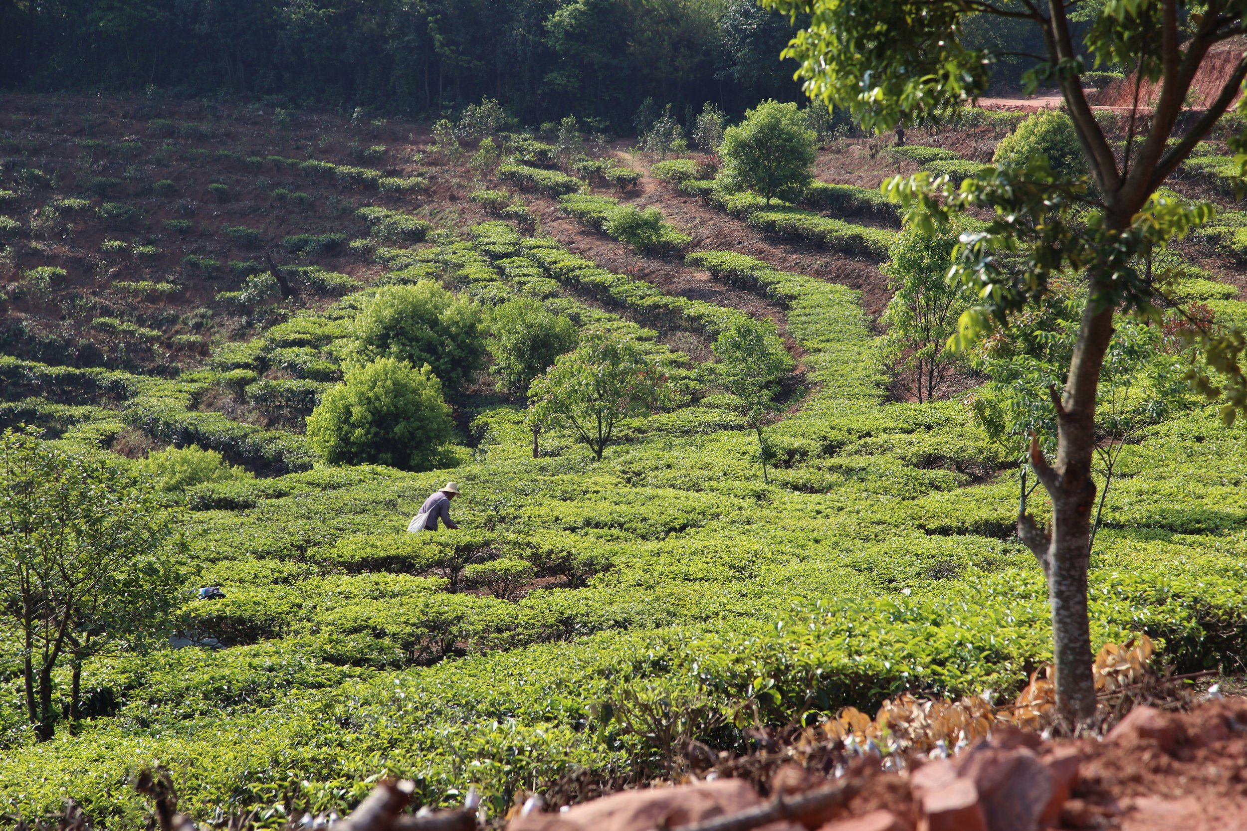 We partner with small scale tea gardeners who focus on quality over quantity. - Small scale tea farmers cannot compete with commercial tea gardens who owns industrialized harvesting tools and employs thousands of workers. Hence, our friend-farmers focus on quality and integrity of their tea production.