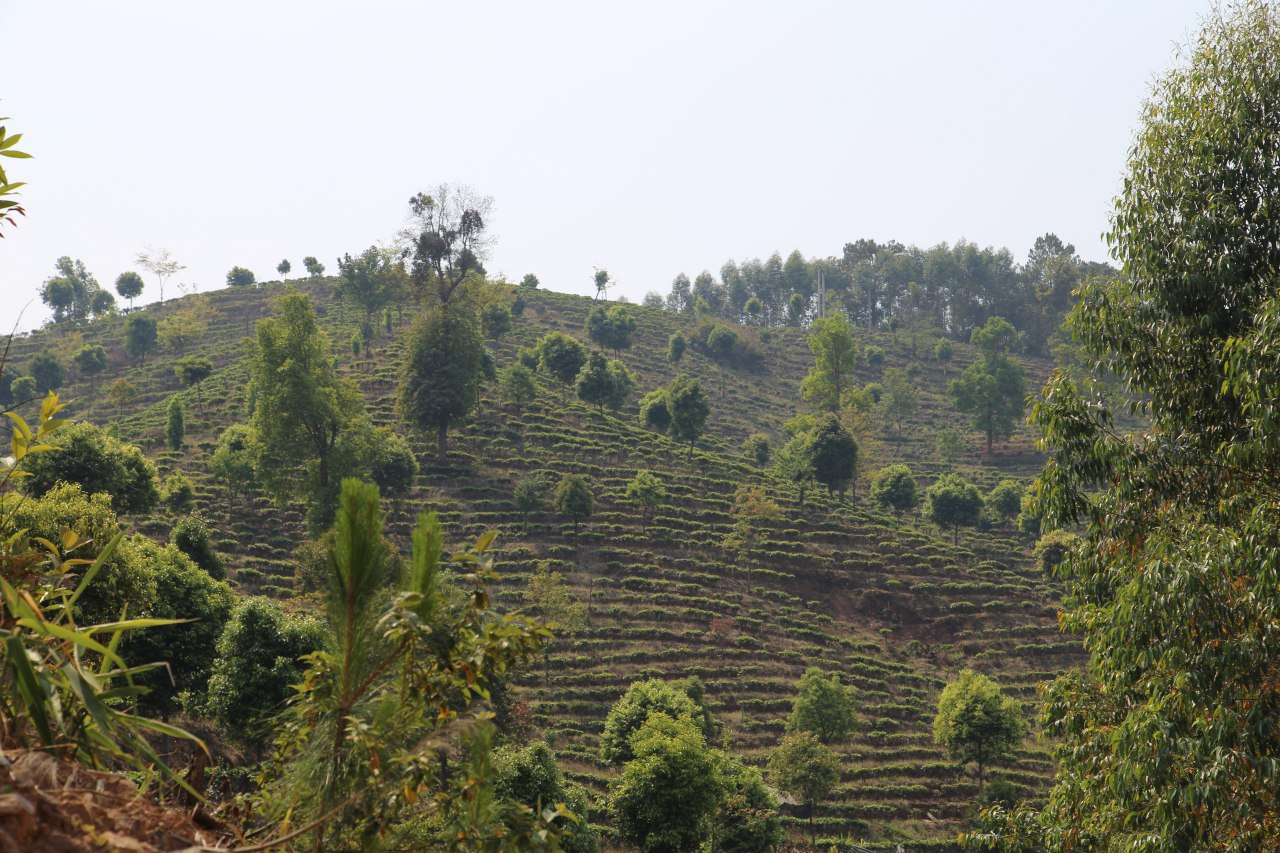 We take things the way nature has intended things to be. - We select farms that grow their tea plants using the most natural methods. For example, cloning tea trees can enhance the tea leaves production but it also limits our tea experience because it will lack variety.