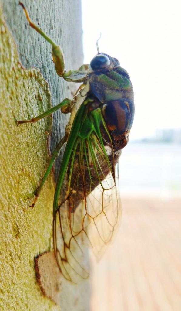 cicada-1385590280KvO