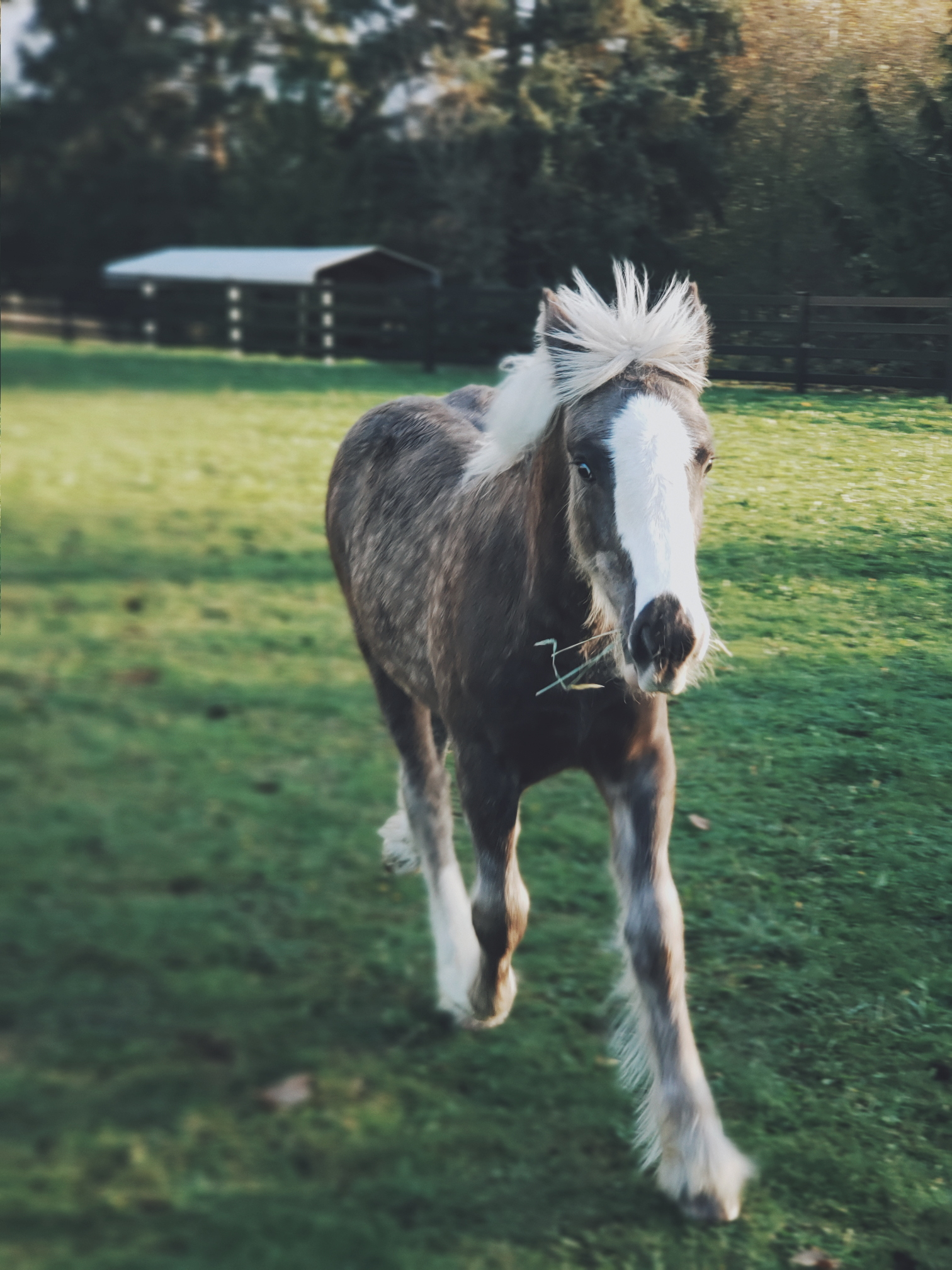 Liberty, our Gypsy Vanner filly