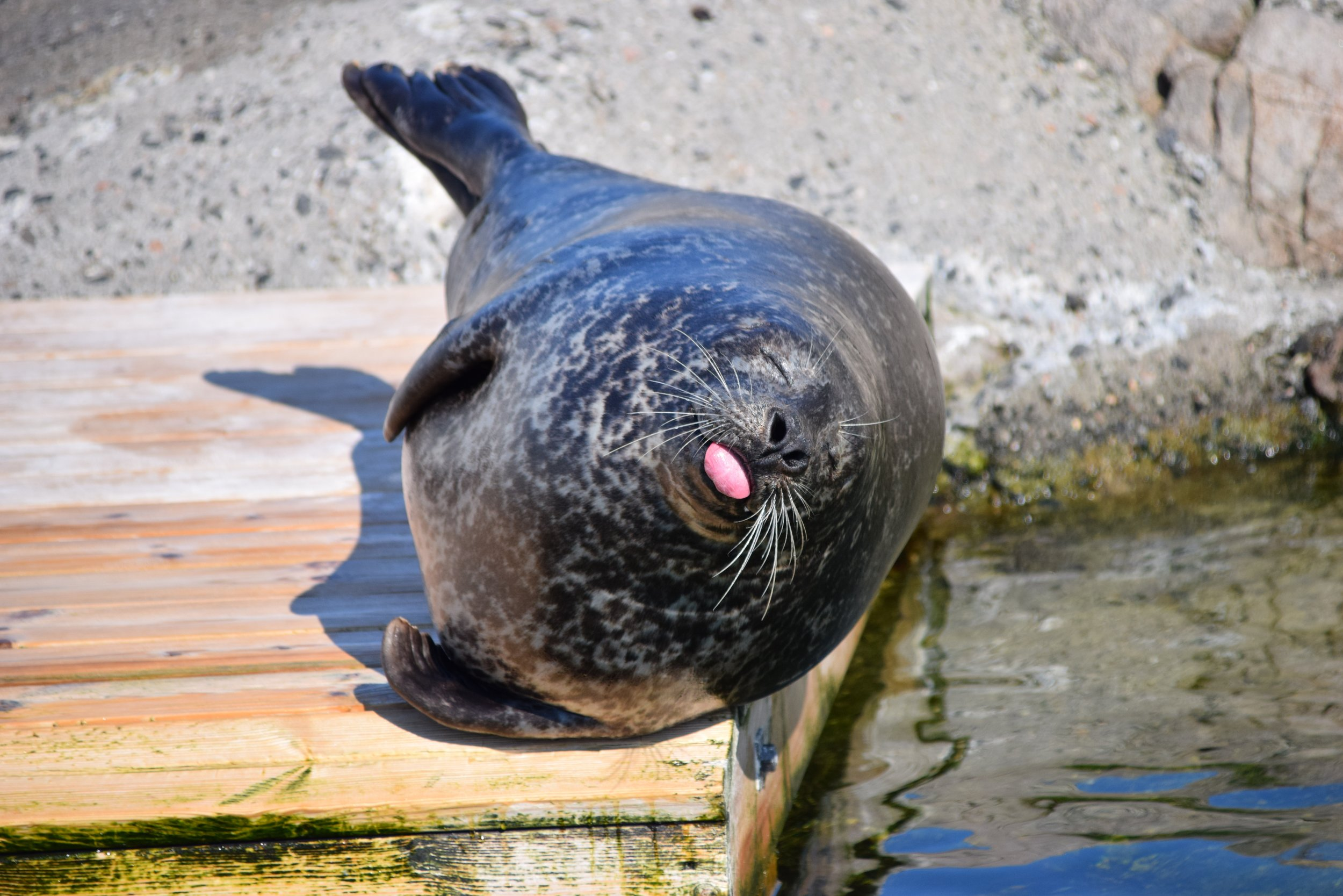 A seal poking its tongue out, about to roll off a jetty