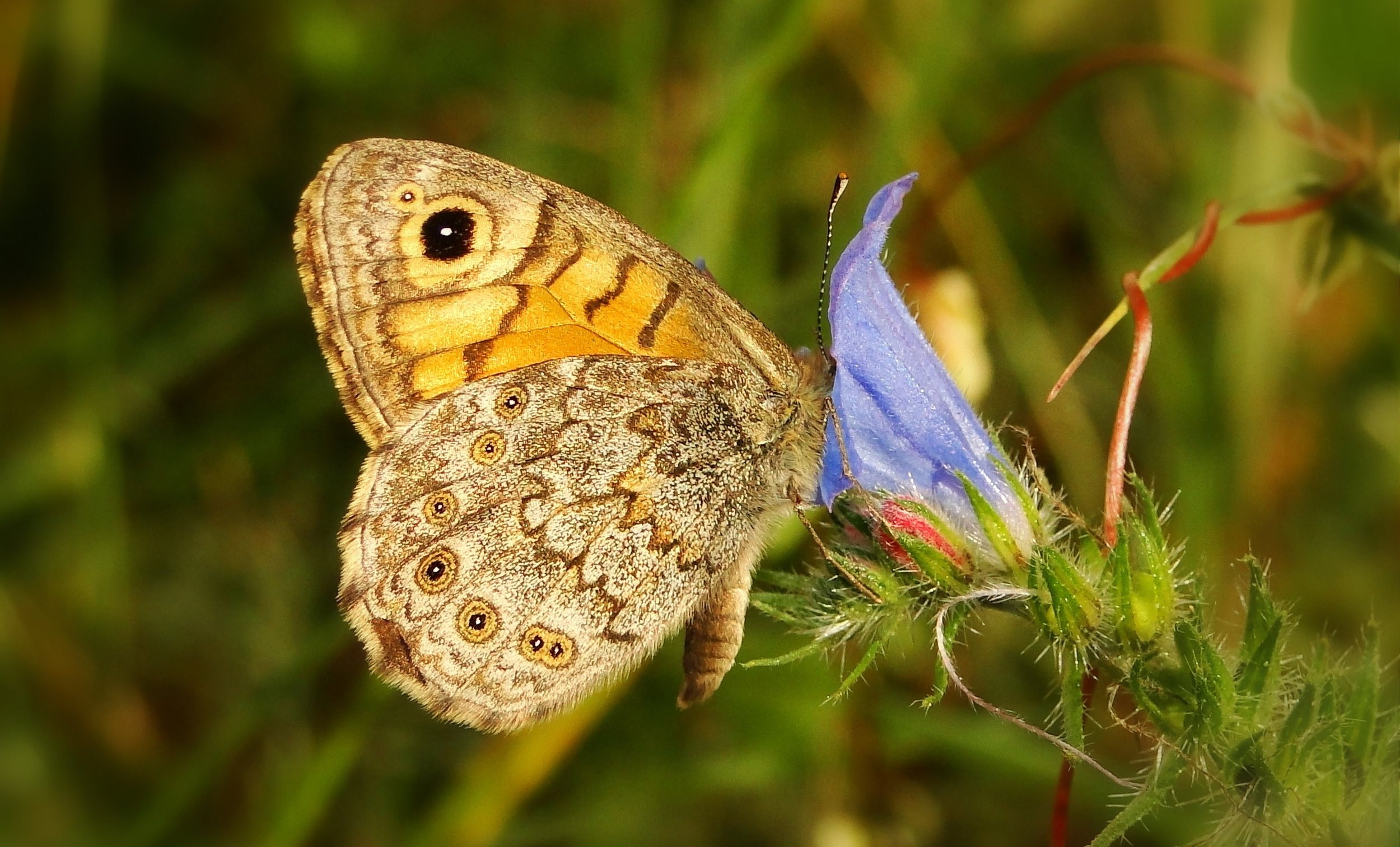 Butterfly with eye-like spot on its wing
