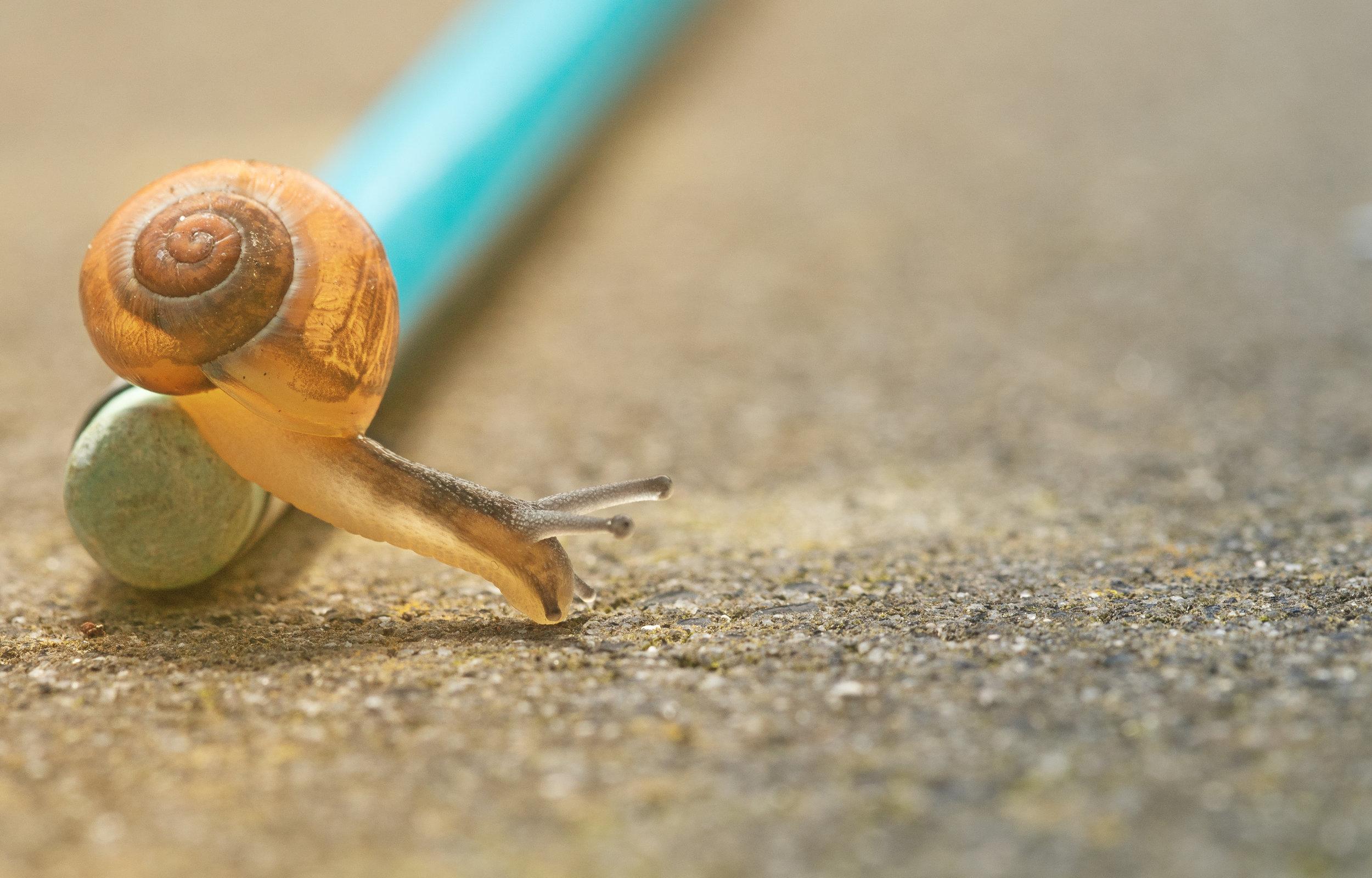 A snail crawling off a pencil