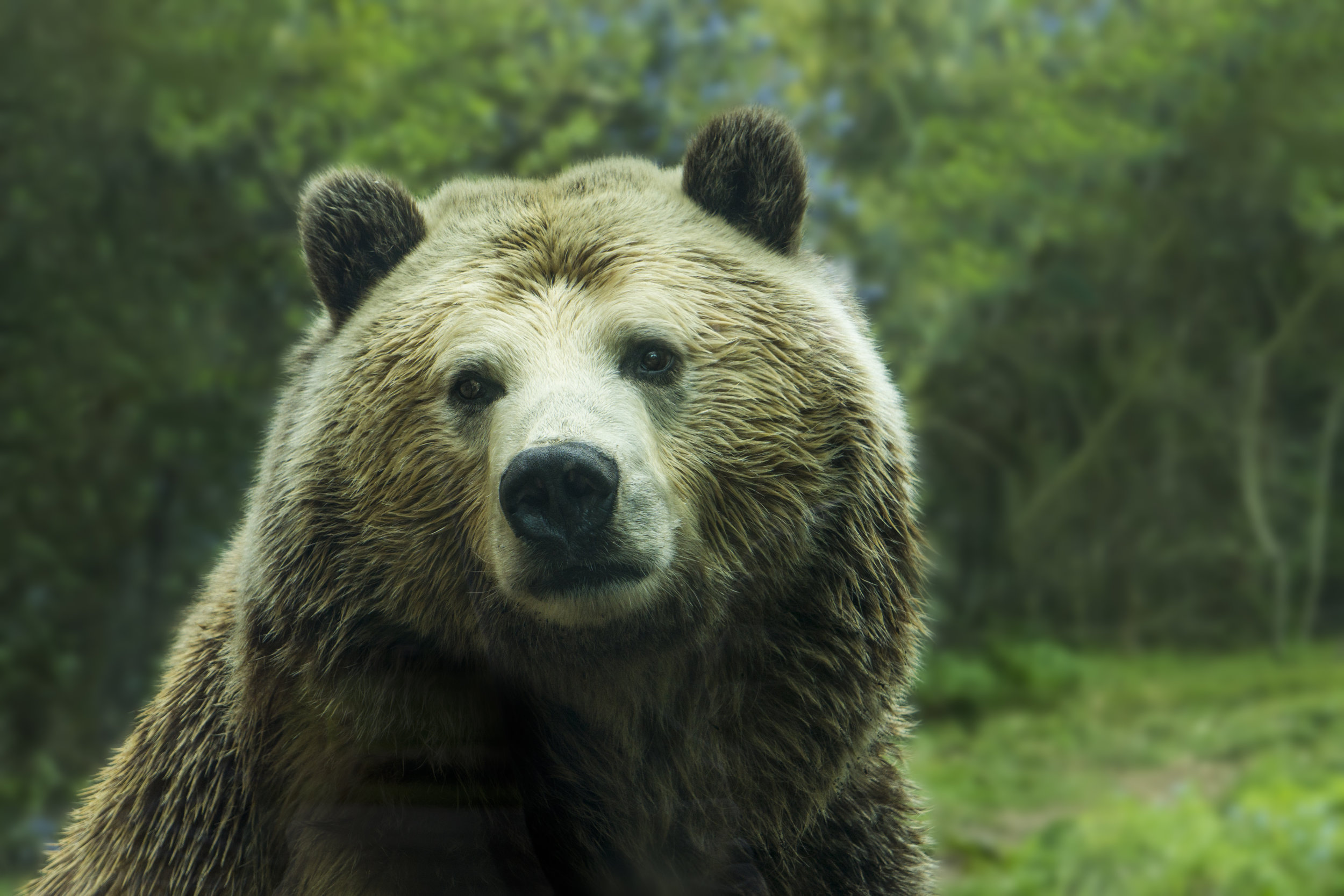 Close-up on a brown bear