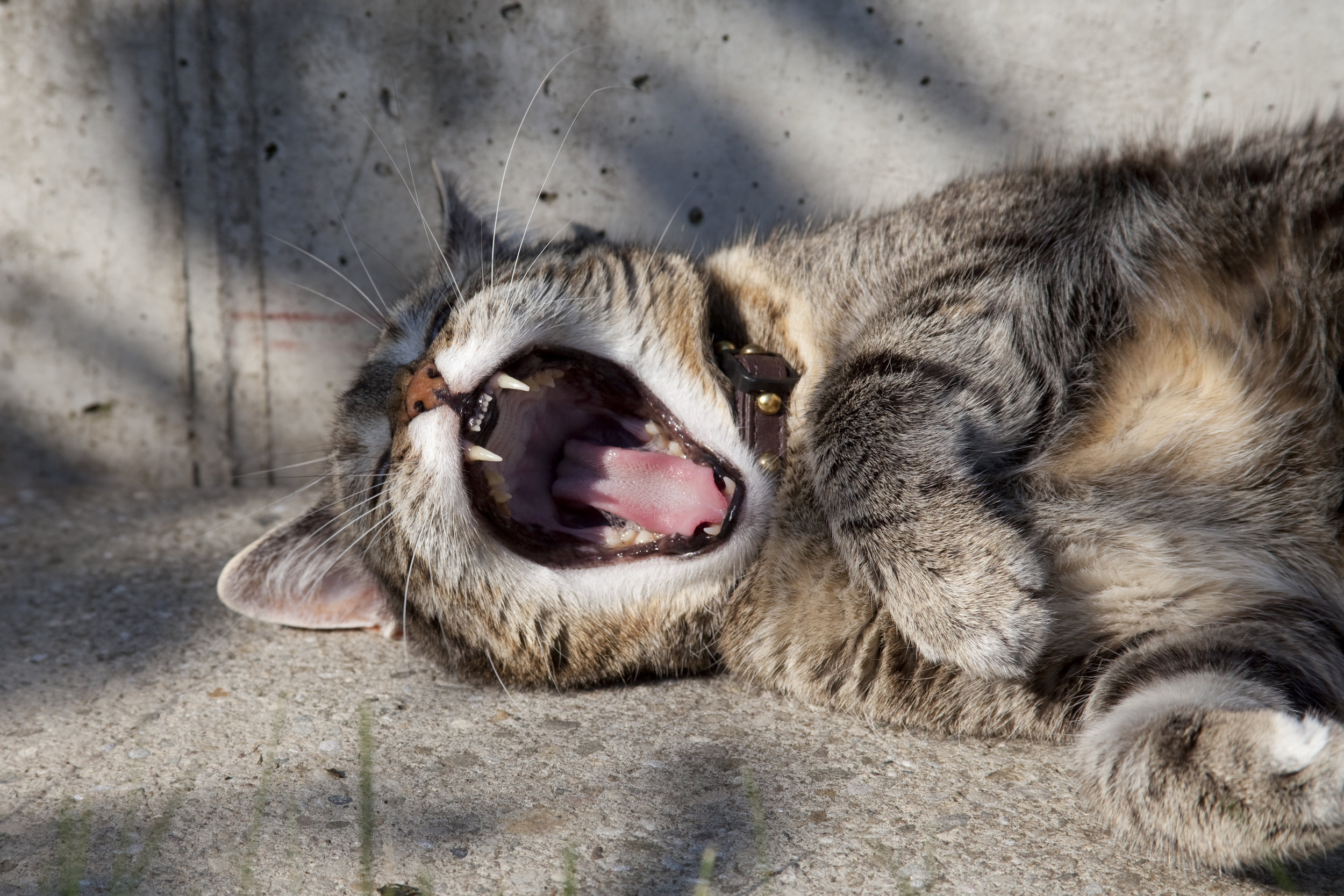 Close-up on a yawning tabby cat
