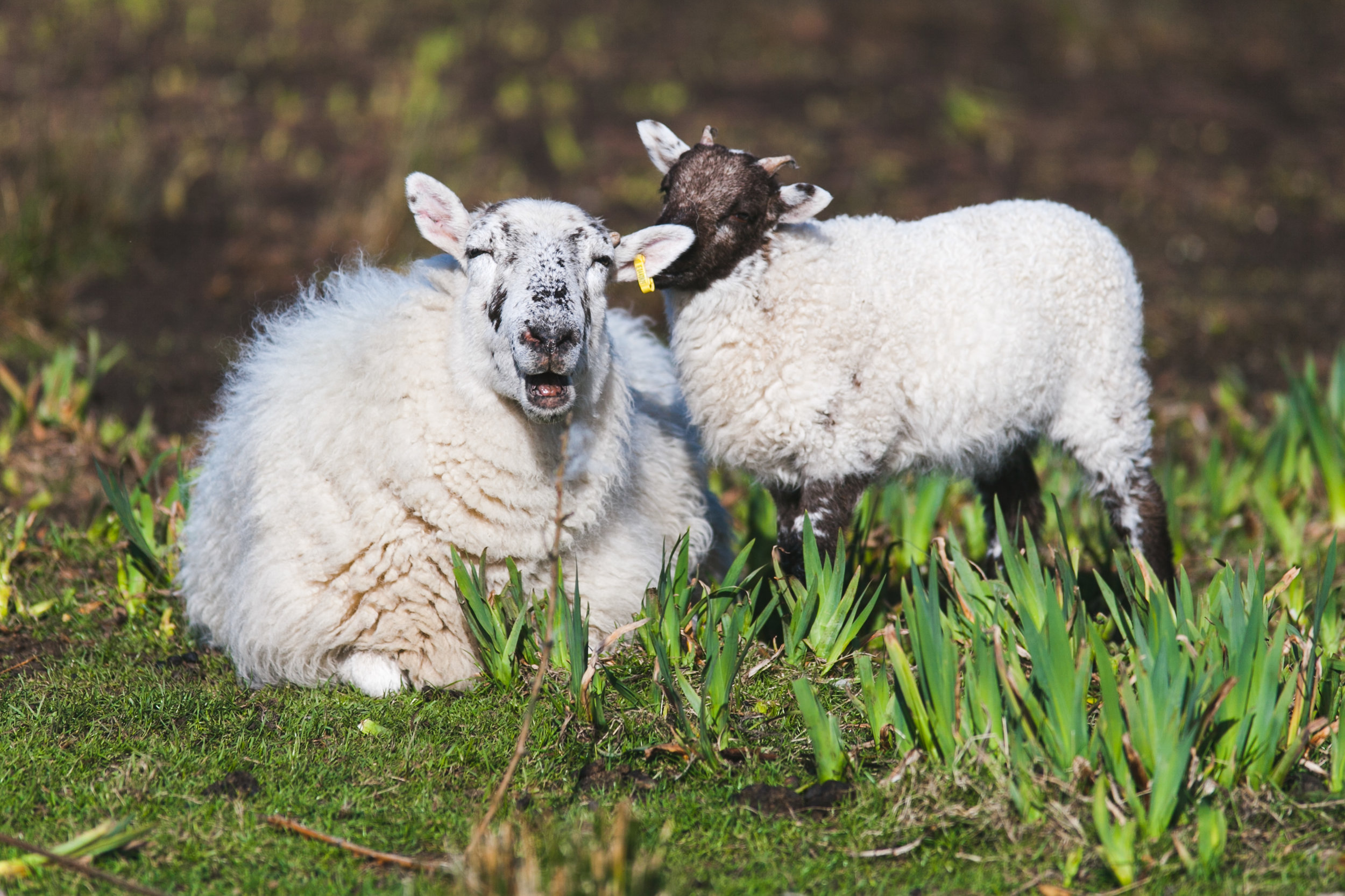 An adult sheep with a lamb