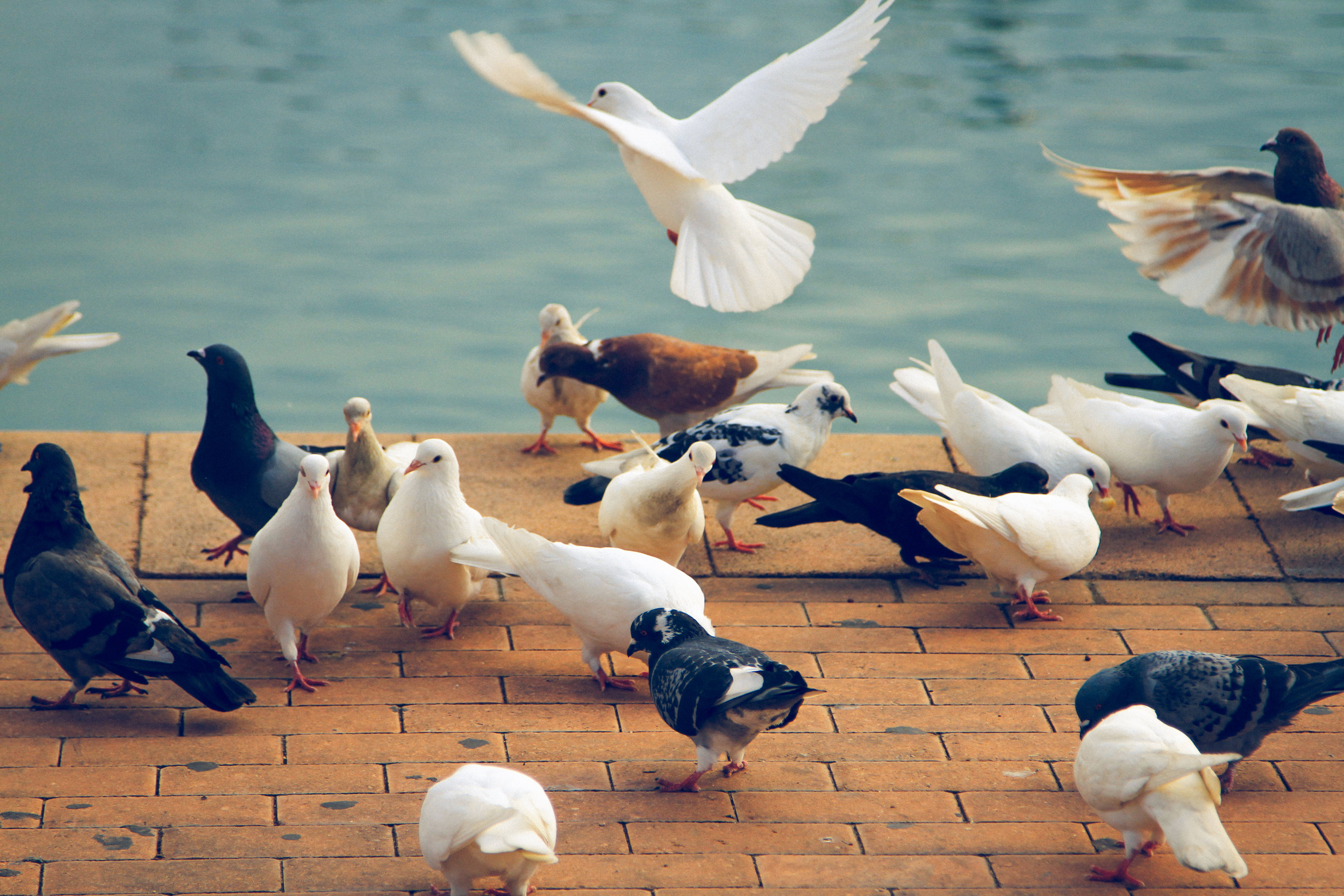 Pigeons gathering by water