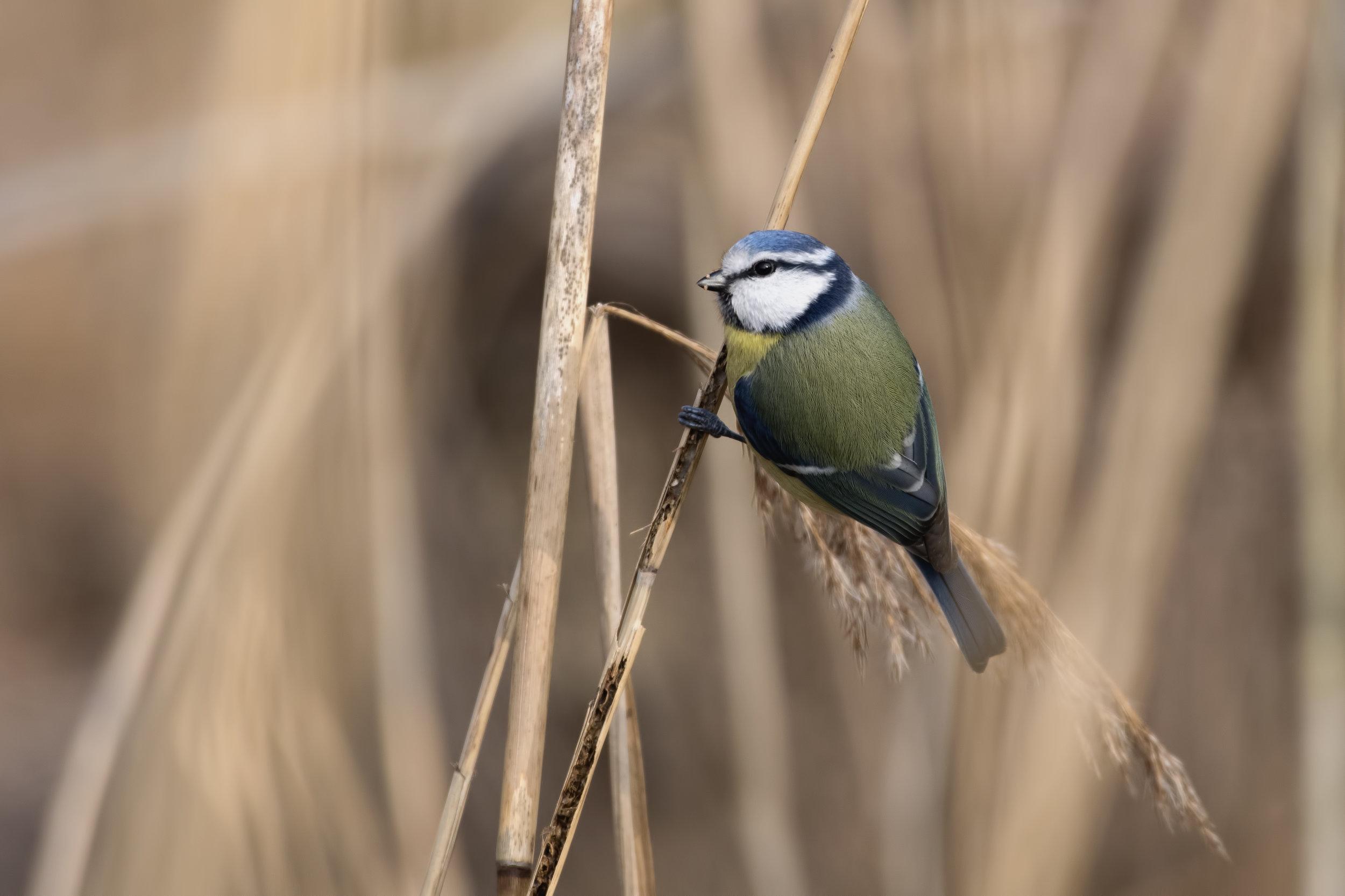 A bluetit perching on a twig