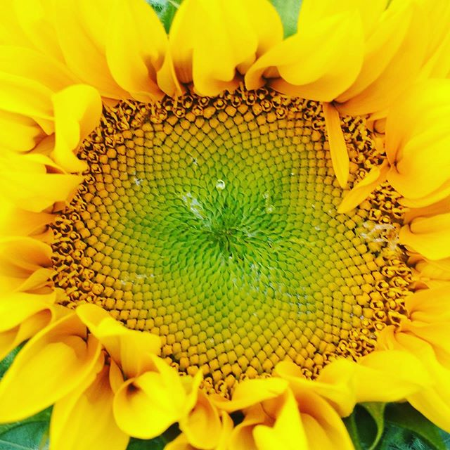 Nature and #design Pretty impressive combination #sunflowers #flowers... it's all in the detail.