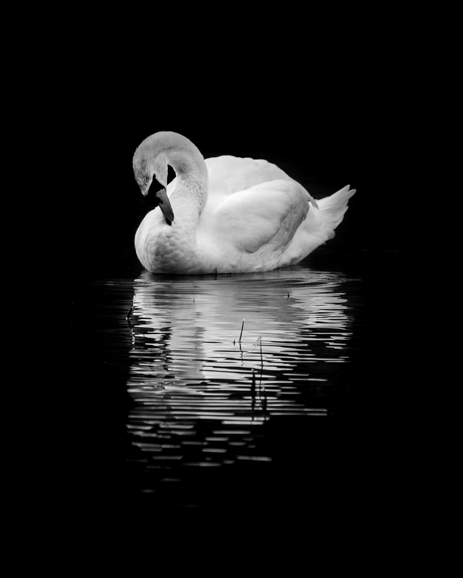 Preening Swan at Blenheim Palace •  kjbimagery.com