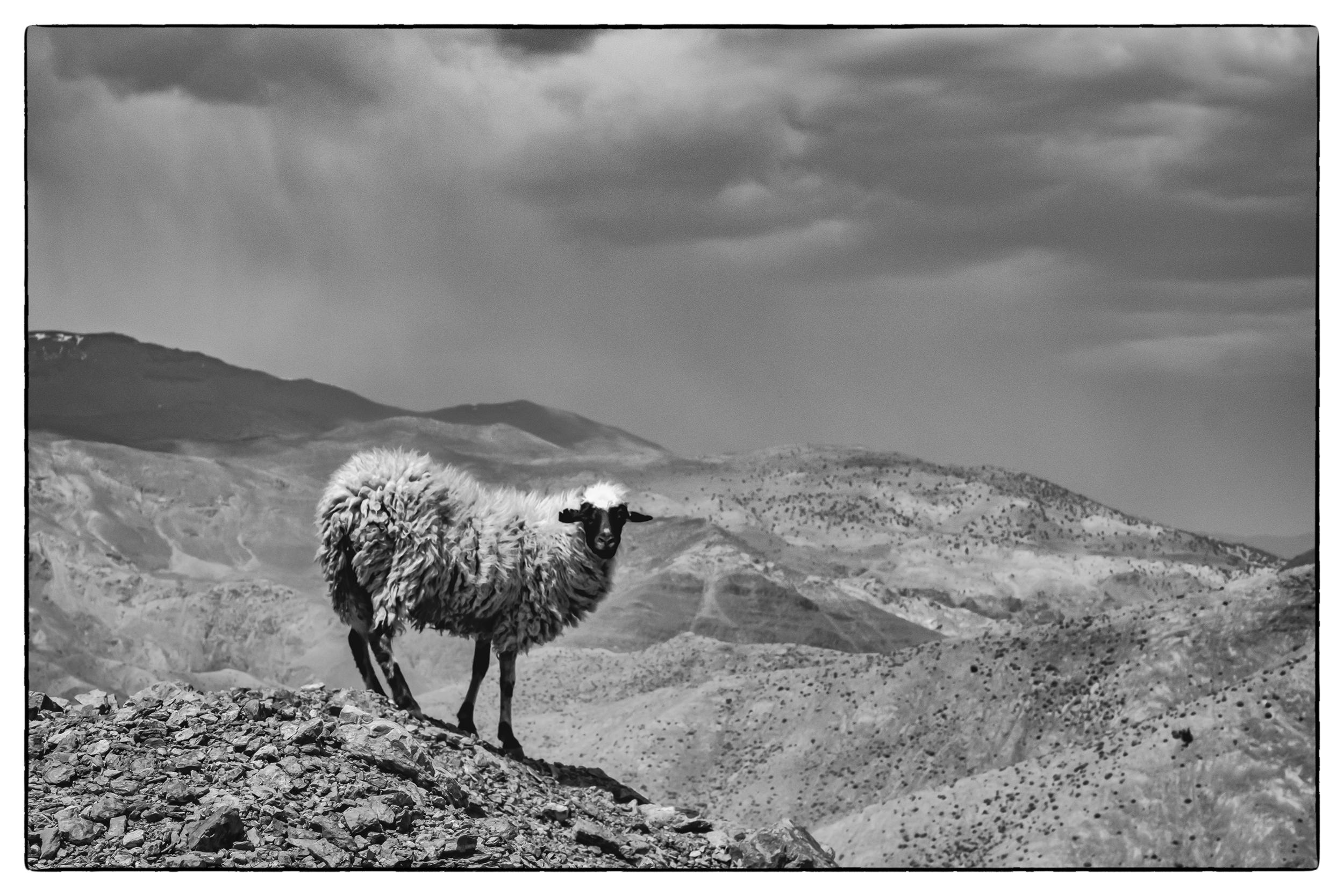 one sheep.jpg
