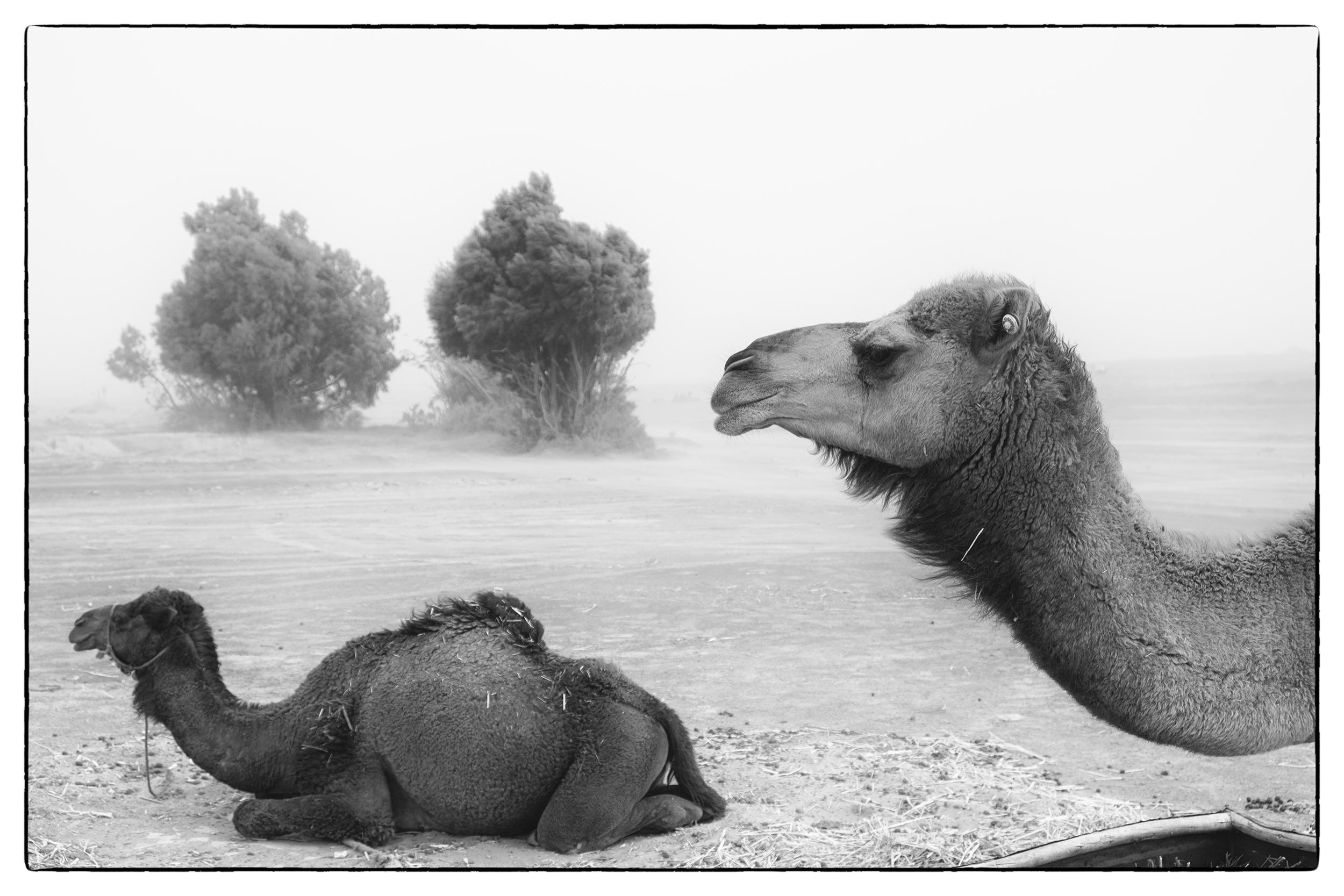 Camels in sandstorm.jpg